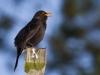 Eurasion Blackbird