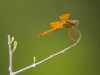 Mexican Amber Dragonfly
