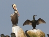 Brown Pelican and Brandt's Cormorant