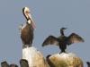 Brown Pelican and Brandt's Cormorant