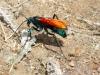 Pepsis Grossa Wasp