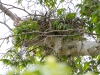 Gray Hawk nest