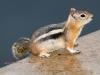 Golden-mantled Ground Squirrle