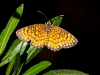Arizona Checkerspot