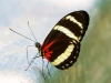 Pachinus Longwing Butterfly