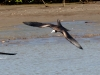 Magnifcent Frigatebird