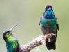 Magnificent Hummingbird and Fiery-throated Hummingbird