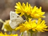 Checkered White Butterfly, Desert Marigold