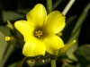 Golden Linanthus