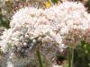 Flat Top Buckwheat