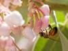 Bee on Pringle Manzanita