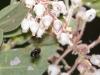 Bee in flight to Pringle Manzanita