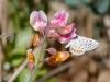 Acmon Blue Butterfly on American Deervetch