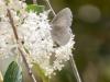 Echo Azure on Deerbrush Ceanothus