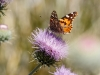 Painted Lady and New Mexico Thistle
