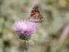 Profile view of the Painted Lady on a New Mexico Thistle