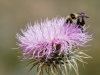 Bumble Bee on New Mexico Thistle