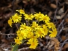 Oak Creek Ragwort