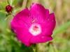 Purple Poppy-mallow