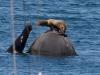 Californial Sea Lion