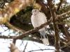 Eurasion Colared Dove
