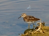 Least Sandpiper, Blue Dasher Dragonfly