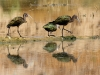 White-faced Ibis in Pond 3. Glendale Recharge Ponds.