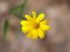 Yellow Brittlebrush