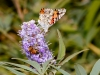 Painted Lady and bee