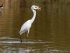 Great Egret