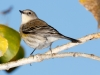 Yellow-rumped Warber