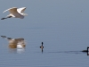 Great Egret and Eared Grebe
