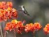 Ann's Hummingbird