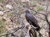 Common Blackhawk