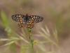 Chalcedon Butterfly