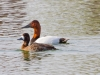 Canvasback and Female Lesser Scaup