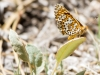 Arachne Checkerspot Butterfly